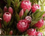 BPPink – Wholesale Pink Protea