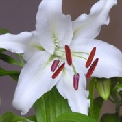 BLWhite – Wholesale White Lilly