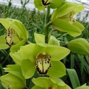 BCGreen – Wholesale Green Cymbidium