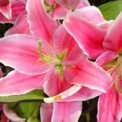 BLPink – Wholesale Pink Lily