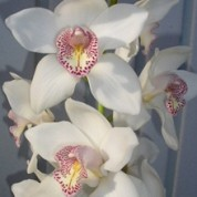 BCWhite(2) – Wholesale White Cymbidium