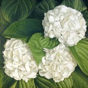 BHWhite – Wholesale White Hydrangeas