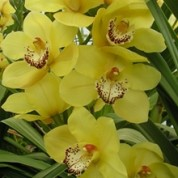 BCYellow – Wholesale Yellow Cymbidium