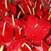 BARed – Wholesale Red Anthurium