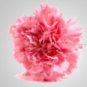BCPink – Wholesale Pink Carnation