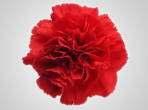 BCRed – Wholesale Red Carnation