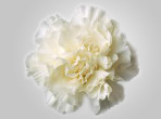 BCWhite – Wholesale White Carnation
